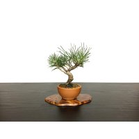 Pinus thunbergii / Black Pine, Kuromatsu / Small size Bonsai