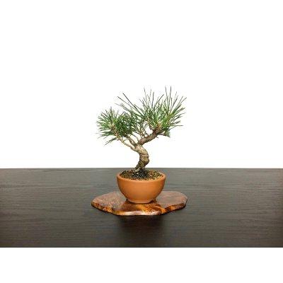 Photo1: Pinus thunbergii / Black Pine, Kuromatsu / Small size Bonsai