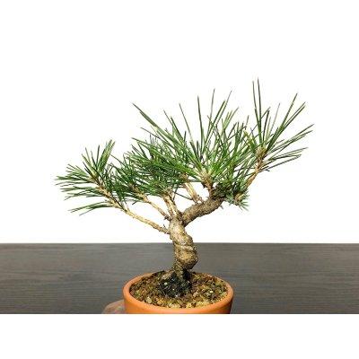 Photo2: Pinus thunbergii / Black Pine, Kuromatsu / Small size Bonsai