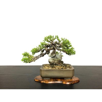 Photo1: Juniperus chinensis / Japanese Juniper, Shimpaku / Small size Bonsai