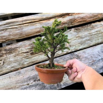Photo1: Picea jezoensis / Yezo Spruce, Yezomatsu / Small size Bonsai