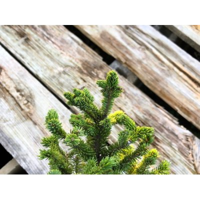 Photo4: Picea jezoensis / Yezo Spruce, Yezomatsu / Small size Bonsai