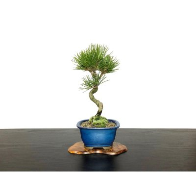 Photo1: Pinus thunbergii / Black Pine, Kuromatsu / Small size Bonsai