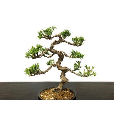 Photo2: Juniperus chinensis / Japanese Juniper, Shimpaku / Small size Bonsai