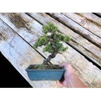 Juniperus rigida / Needle Juniper, Tosho / Small size Bonsai