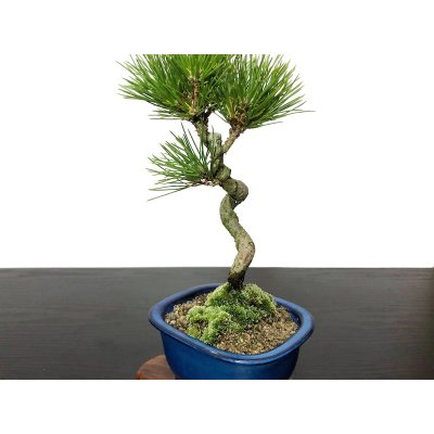 Photo2: Pinus thunbergii / Black Pine, Kuromatsu / Small size Bonsai