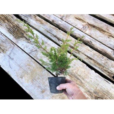 Photo4: Juniperus chinensis / Japanese Juniper, Shimpaku / Small size Bonsai