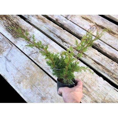 Photo3: Juniperus chinensis / Japanese Juniper, Shimpaku / Small size Bonsai