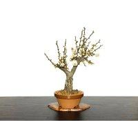 """Prunus mume (Japanese Flowering Apricot) / Ume """"Tamabotan"""" / Middle size Bonsai"""
