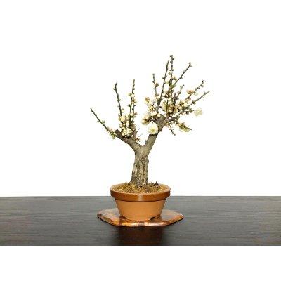 "Photo1: Prunus mume (Japanese Flowering Apricot) / Ume ""Tamabotan"" / Middle size Bonsai"
