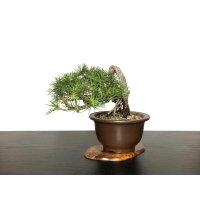 "Pinus thunbergii / ""Neagari"" Black Pine, Kuromatsu / Small size Bonsai / ""Yamaaki"" Tokoname Pot"