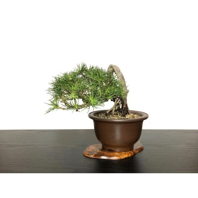 "Photo1: Pinus thunbergii / ""Neagari"" Black Pine, Kuromatsu / Small size Bonsai / ""Yamaaki"" Tokoname Pot"