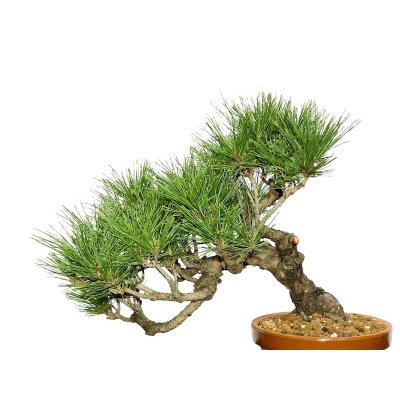 Photo2: Pinus densiflora / Red Pine, Akamatsu / Middle size Bonsai