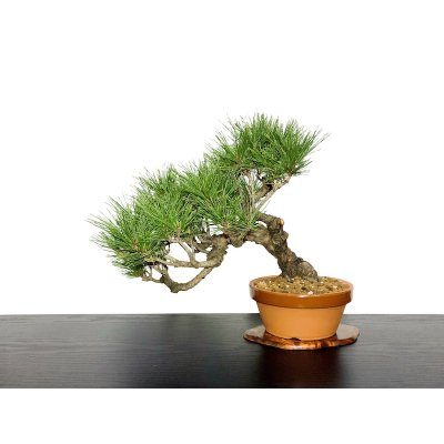 Photo1: Pinus densiflora / Red Pine, Akamatsu / Middle size Bonsai