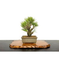 "Pinus thunbergii / Black Pine, Kuromatsu ""Nishikimatsu"" / Small size Bonsai"