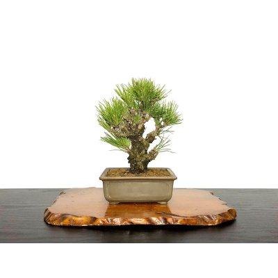 "Photo1: Pinus thunbergii / Black Pine, Kuromatsu ""Nishikimatsu"" / Small size Bonsai"