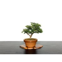 "Chamaecyparis obtusa / Hinoki cypress ""Tsuyama"" / Small size Bonsai"