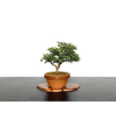 """Photo1: Chamaecyparis obtusa / Hinoki cypress """"Tsuyama"""" / Small size Bonsai"""