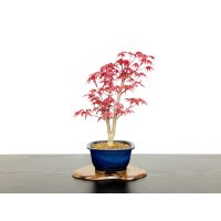 "Acer palmatum / Japanese Maple, Momiji ""Deshojo"" / Middle size Bonsai"