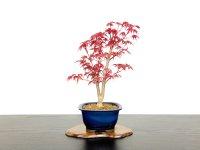 "Acer palmatum / Japanese Maple, Momiji ""Deshojo"" / Middle size Bonsai"