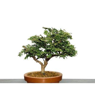 """Photo2: Chamaecyparis obtusa / Hinoki cypress """"Tsuyama"""" / Small size Bonsai"""