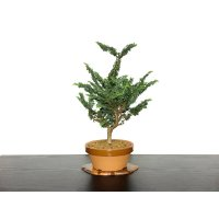 "Chamaecyparis obtusa / Hinoki cypress ""Sekka"" / Middle size Bonsai"