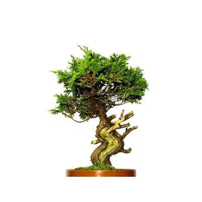 Photo2: Juniperus chinensis / Japanese Juniper, Shimpaku / Middle size Bonsai