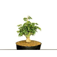 "Acer palmatum / Japanese Maple, Momiji ""Shishigashira"" / Small size Bonsai"