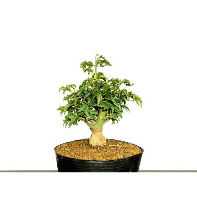 "Photo1: Acer palmatum / Japanese Maple, Momiji ""Shishigashira"" / Small size Bonsai"
