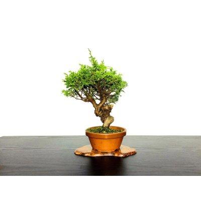 Photo1: Juniperus chinensis / Japanese Juniper, Shimpaku / Small size Bonsai
