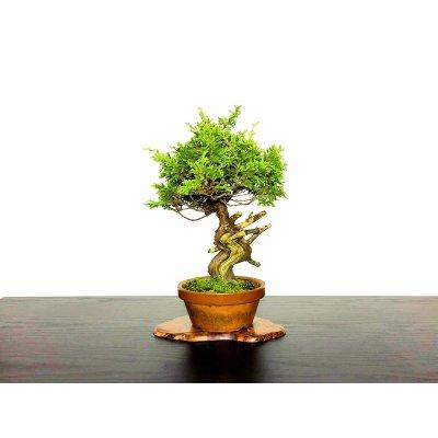 Photo1: Juniperus chinensis / Japanese Juniper, Shimpaku / Middle size Bonsai