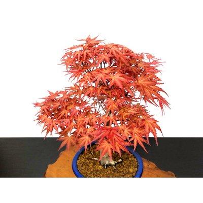 "Photo2: Acer palmatum / Japanese Maple, Momiji ""Seigen"" / Middle size Bonsai"