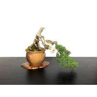 Juniperus chinensis / Japanese Juniper, Shimpaku / Small size Bonsai