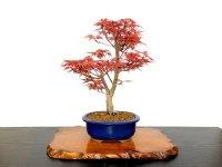 "Acer palmatum / Japanese Maple, Momiji ""Seigen"" / Middle size Bonsai"