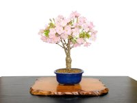 """Prunus / Cherry Tree, Sakura """"Asahiyama"""" / Middle size Bonsai"""