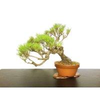 Pinus densiflora / Red Pine, Akamatsu / Middle size Bonsai
