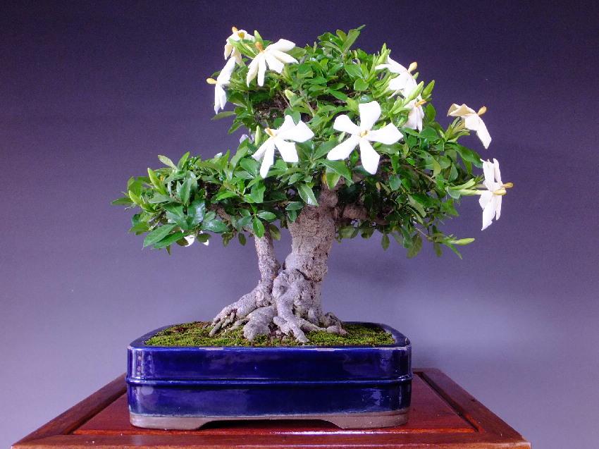Cape Jasmine / Common Gardenia (Gardenia Jasminoide) / Kuchinashi [Y1425]