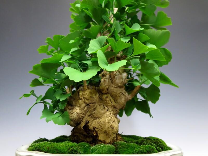 Bonsaiginkgo Biloba Maidenhair Tree Icho Middle Size Bonsai