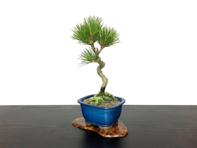 Bonsai Pinus Thunbergii Black Pine Kuromatsu Small Size Bonsai Online Shopping Site Of Bonsai Treesfrom Japan